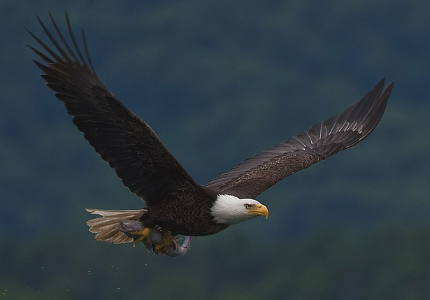 """2010-bald-eagle-with-fish"" by Yathin S Krishnappa - Own work. Licensed under CC BY-SA 3.0 via Wikimedia Commons - https://commons.wikimedia.org/wiki/File:2010-bald-eagle-with-fish.jpg#/media/File:2010-bald-eagle-with-fish.jpg"